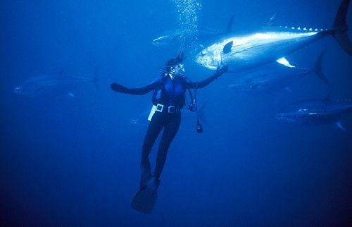 bluefin tuna 3